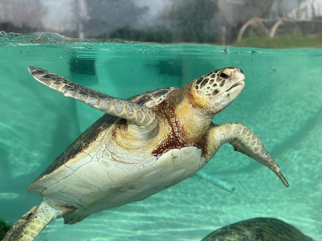 Living Coast Sea turtle under water