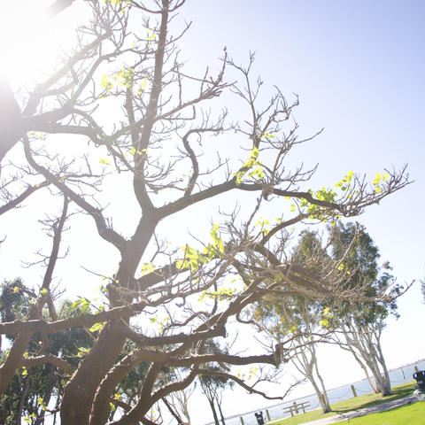 Trees drenched in sunlight at the Chula Vista Bayfront Park.